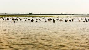 Donaudeltafåglar Royaltyfri Bild