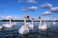 Donausvanar i perfekt vårdag Arkivbilder
