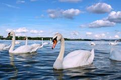 Donausvanar i perfekt vårdag Royaltyfria Bilder