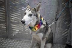 Doncaster dumy 19 Aug 2017 LGBT festiwal, husky pies z rainbo zdjęcia royalty free