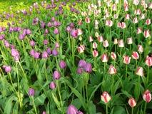 Donde dos camas de flor de tulipanes junto en uno imagen de archivo libre de regalías