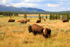 Donde el búfalo vaga imagenes de archivo
