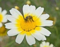 Donde la abeja aspira. Imágenes de archivo libres de regalías