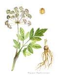 Dong Quai (Angelika sinensis) Lizenzfreies Stockbild