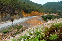 VAN, HA GIANG, VIETNAM, October 27th, 2018: Hill of buckwheat flowers Ha Giang, Vietnam. Hagiang is a northernmost province stock image