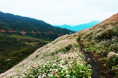 VAN, HA GIANG, VIETNAM, October 27th, 2018: Hill of buckwheat flowers Ha Giang, Vietnam. Hagiang is a northernmost province royalty free stock photography