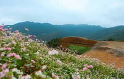 VAN, HA GIANG, VIETNAM, October 27th, 2018: Hill of buckwheat flowers Ha Giang, Vietnam. Hagiang is a northernmost province royalty free stock image