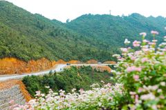VAN, HA GIANG, VIETNAM, October 27th, 2018: Hill of buckwheat flowers Ha Giang, Vietnam. Hagiang is a northernmost province stock photography