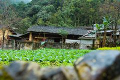VAN, HA GIANG, VIETNAM, October 27th, 2018:spring on, the simple houses, blooming peach flowers trees, rock plateau where Ha. Giang, Vietnam northernmost royalty free stock image
