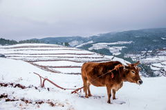 Dongchuan, agricoltore rosso della terra del Yunnan in terreno coltivabile nevoso Fotografie Stock Libere da Diritti