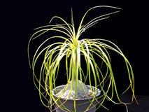 Doniczkowa ponytail palma Fotografia Stock