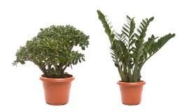 Doniczkowa roślina Obrazy Royalty Free