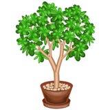 Doniczkowa ro?lina Zielonego pieni?dze drzewo, Crassulaceae, z mi?sistymi zielonymi li??mi Symbol szcz??cie, szcz??cie i bogactwo royalty ilustracja