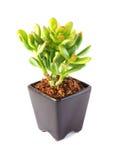 Doniczkowa Tłustoszowata roślina Odizolowywająca na bielu Obraz Stock