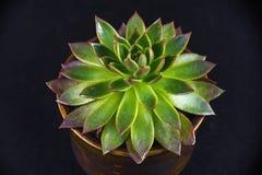 Doniczkowa tłustoszowata roślina odizolowywająca na czerni Zdjęcia Royalty Free