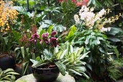 Doniczkowa Wenus pantoflowa orchidea w ogródzie obraz stock
