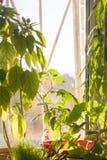Doniczkowe zielone rośliny na nadokiennym parapecie indoors Fotografia Royalty Free