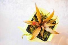 Doniczkowej dziecko rośliny ślubny zeznanie Zdjęcie Royalty Free