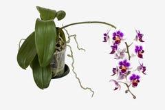 Doniczkowi Ciemnowiśniowi Barwioni Phalaenopsis orchidei zieleni liście i korzeń Obraz Royalty Free