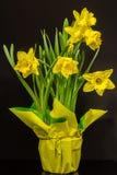 Doniczkowi Daffodils Zdjęcia Stock