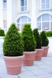 doniczkowi ornamental drzewa Obrazy Stock