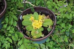 Doniczkowy żółty kwiat obraz royalty free