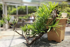 Doniczkowy drzewo w Singapur ogródach botanicznych Obrazy Royalty Free