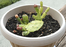 Doniczkowy kaktus Obraz Royalty Free