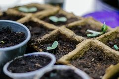 Doniczkowy sadzonkowy doro?ni?cie w biodegradable torfowiskowym mech puszkuje obrazy royalty free