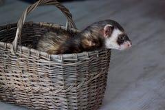 A doninha bonita está sentando-se em uma cesta de vime Fotos de Stock Royalty Free