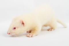 Doninha do albino Fotos de Stock