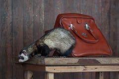 A doninha está sentando-se em uma mesa de madeira Fotos de Stock
