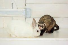 A doninha home e um coelho estão sentando-se perto da porta branca Fotos de Stock