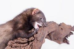 Doninha pequena do roedor imagem de stock