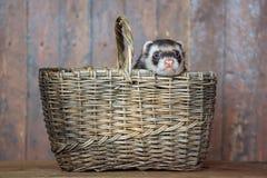A doninha que senta-se em uma cesta de vime Foto de Stock Royalty Free