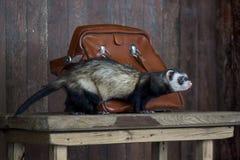 A doninha que senta-se em uma tabela de madeira Imagem de Stock Royalty Free