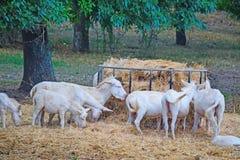 Donkeis brancos que comem o feno Fotografia de Stock Royalty Free