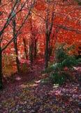 Donker bos in de herfst. Stock Afbeelding
