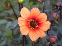 Donker-doorbladerde dahlia'scolorette met oranje kleur Royalty-vrije Stock Foto's