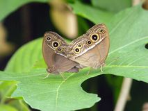 Donker Gemerkt Bush Bruine vlinders Royalty-vrije Stock Foto's