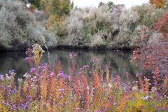 Donker meer achter het overweldigen van purpere bloemen Stock Foto's