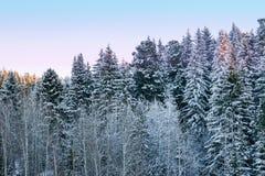 Donker naaldbos in de sneeuw en de vorst in de stralen van zonsondergang, Royalty-vrije Stock Fotografie