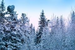 Donker naaldbos in de sneeuw en de vorst in de stralen van zonsondergang, Stock Foto's