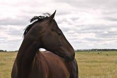 Donker paard dat net eruit ziet Royalty-vrije Stock Foto's