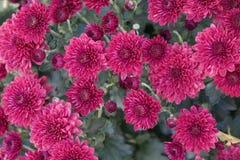 Donker Roze Mini Mums Royalty-vrije Stock Fotografie
