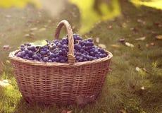 Donkerblauwe druiven in een mand stock afbeeldingen