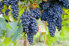 Donkerblauwe druiven op wijnstokken Stock Fotografie