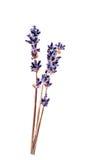 Donkerblauwe Lavandula-bloem (gemeenschappelijke naamlavendel) Stock Foto's