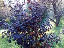Donkerblauwe struik Royalty-vrije Stock Fotografie