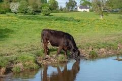Donkerbruine Stier in Wales stock fotografie